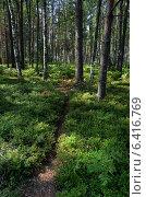 Сосновый лес. Стоковое фото, фотограф Анфимов Леонид / Фотобанк Лори