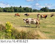 Купить «Стадо коров пасется на поле», фото № 6418621, снято 19 августа 2014 г. (c) Валерия Попова / Фотобанк Лори
