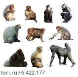 Купить «Set of many monkeys. Isolated over white», фото № 6422177, снято 20 ноября 2019 г. (c) Яков Филимонов / Фотобанк Лори