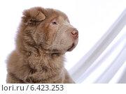 Портрет шарпея. Стоковое фото, фотограф vansant natalia / Фотобанк Лори