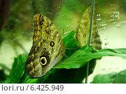 Бабочка глаз сидит на зеленом листе и смотрит на свое отражение в зеркале. Стоковое фото, фотограф Мария Бурыхина / Фотобанк Лори