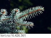Купить «Веточка голубой ели (лат. Picea pungens)», фото № 6426361, снято 21 января 2014 г. (c) Сергей Трофименко / Фотобанк Лори
