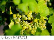 Купить «Зеленый виноград на ветке», фото № 6427721, снято 24 июля 2014 г. (c) Сурикова Ирина / Фотобанк Лори