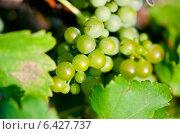 Купить «Зеленый виноград для вина», фото № 6427737, снято 24 июля 2014 г. (c) Сурикова Ирина / Фотобанк Лори