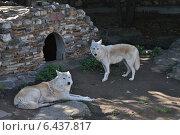 Купить «Волки в Московском зоопарке», эксклюзивное фото № 6437817, снято 16 сентября 2014 г. (c) lana1501 / Фотобанк Лори