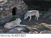 Купить «Волки в Московском зоопарке», эксклюзивное фото № 6437821, снято 16 сентября 2014 г. (c) lana1501 / Фотобанк Лори