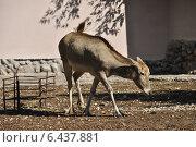 Купить «Олень Давида, или Милу (лат. Elaphurus davidianus) в Московском зоопарке», эксклюзивное фото № 6437881, снято 16 сентября 2014 г. (c) lana1501 / Фотобанк Лори
