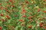 Красные ягоды рябины на дереве. Фокус на передней ветке (лат. Sorbus aucuparia ), эксклюзивное фото № 6438233, снято 24 сентября 2014 г. (c) Svet / Фотобанк Лори