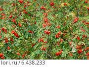 Купить «Красные ягоды рябины (лат. Sorbus aucuparia) на дереве. Фокус на передней ветке», эксклюзивное фото № 6438233, снято 24 сентября 2014 г. (c) Svet / Фотобанк Лори