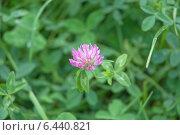 Купить «Цветок клевера в зелёной  траве (Trifolium pratense)», эксклюзивное фото № 6440821, снято 22 сентября 2014 г. (c) Svet / Фотобанк Лори