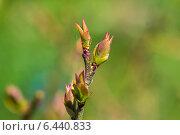 Купить «Распускающиеся почки садовой голубики», фото № 6440833, снято 7 мая 2014 г. (c) Ольга Сейфутдинова / Фотобанк Лори