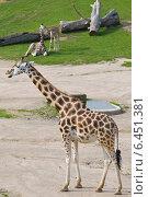 Купить «Жирафы», фото № 6451381, снято 9 сентября 2014 г. (c) Наталья Волкова / Фотобанк Лори