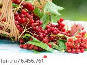 Купить «Красные ягоды калины в корзине», фото № 6456761, снято 25 августа 2014 г. (c) Володина Ольга / Фотобанк Лори