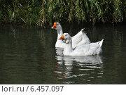 Купить «Белые домашние гуси (лат. Anser caerulescens)», эксклюзивное фото № 6457097, снято 27 сентября 2014 г. (c) lana1501 / Фотобанк Лори