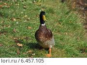 Купить «Селезень на траве», эксклюзивное фото № 6457105, снято 27 сентября 2014 г. (c) lana1501 / Фотобанк Лори