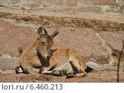 Купить «Самка Дагестанского тура (лат. Capra caucasica cylindricornis) в зоопарке», эксклюзивное фото № 6460213, снято 26 сентября 2014 г. (c) lana1501 / Фотобанк Лори
