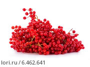 Купить «Ягоды калины красной на белом фоне», фото № 6462641, снято 28 сентября 2014 г. (c) V.Ivantsov / Фотобанк Лори