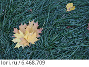 Желтые кленовые листья на зеленой траве. Стоковое фото, фотограф Татьяна Потехина / Фотобанк Лори