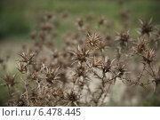 Сухие колючие цветы. Стоковое фото, фотограф Сашенька Тумаева / Фотобанк Лори