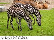 Зебры на пастбище. Стоковое фото, фотограф Евгений Питомец / Фотобанк Лори