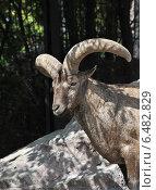 Купить «Дагестанский тур (лат. Capra caucasica cylindricornis) в зоопарке летом», эксклюзивное фото № 6482829, снято 28 августа 2014 г. (c) lana1501 / Фотобанк Лори