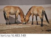 Купить «Лошади Пржевальского (лат. Equus przewalskii)», эксклюзивное фото № 6483149, снято 14 августа 2014 г. (c) lana1501 / Фотобанк Лори