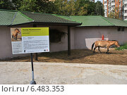 Лошадь Пржевальского (лат. Equus przewalskii) в Московском зоопарке (2014 год). Редакционное фото, фотограф lana1501 / Фотобанк Лори