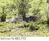 Львица с добычей африканская саванна Кения национальный парк Масаи-мара (2010 год). Стоковое фото, фотограф masebora / Фотобанк Лори