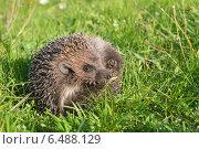 Купить «Ежик на траве разворачивается. Опасность миновала», фото № 6488129, снято 20 сентября 2014 г. (c) Pukhov K / Фотобанк Лори