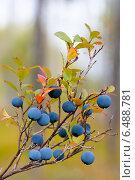 Купить «Голубика», фото № 6488781, снято 7 сентября 2014 г. (c) Павел Родимов / Фотобанк Лори