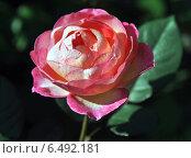 Купить «Красивая розовая роза (лат. Rosa)», эксклюзивное фото № 6492181, снято 8 сентября 2014 г. (c) lana1501 / Фотобанк Лори