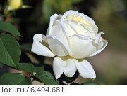 Купить «Чайно-гибридная роза Жанна Моро (лат. Rosa Jeanne Moreau)», эксклюзивное фото № 6494681, снято 8 сентября 2014 г. (c) lana1501 / Фотобанк Лори