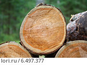 Купить «Спил ствола старой сосны», фото № 6497377, снято 21 августа 2014 г. (c) Родион Власов / Фотобанк Лори