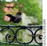 Чёрный дрозд на улице города Карловы Вары (2011 год). Стоковое фото, фотограф Дмитрий Богословский / Фотобанк Лори