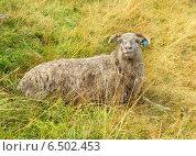 Купить «Овца лежит на осеннем пастбище», фото № 6502453, снято 18 августа 2014 г. (c) Валерия Попова / Фотобанк Лори