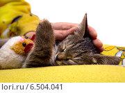 Рука девушки гладит спящего серого котенка. Стоковое фото, фотограф Владимир Ходатаев / Фотобанк Лори