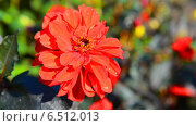 Купить «Красный георгин в саду», видеоролик № 6512013, снято 10 октября 2014 г. (c) Сергей Куров / Фотобанк Лори
