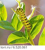 Гусеница бабочки Papilio machaon Linnaeus, Хвостоносец махаон. Стоковое фото, фотограф Евгений Мухортов / Фотобанк Лори