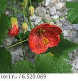 Купить «Цветок абутилона», фото № 6520069, снято 9 сентября 2012 г. (c) Wanda / Фотобанк Лори
