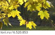 Кленовые листья колышутся на ветру. Стоковое видео, видеограф Евгений Егоров / Фотобанк Лори