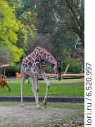 Жираф в зоопарке (2014 год). Стоковое фото, фотограф Анастасия Улитко / Фотобанк Лори