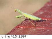 Купить «Насекомое богомол», фото № 6542997, снято 15 сентября 2014 г. (c) Кладов Юрий Анатольевич / Фотобанк Лори