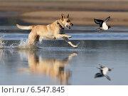 Купить «Собака гонится по воде за куликом-сорокой (Hunting)», фото № 6547845, снято 14 сентября 2013 г. (c) Владимир Борисов / Фотобанк Лори
