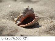 Раковина черноморской рапаны на песке. Стоковое фото, фотограф Татьяна Потехина / Фотобанк Лори