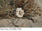 Раковина черноморской рапаны в водорослях на песке. Стоковое фото, фотограф Татьяна Потехина / Фотобанк Лори