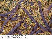 Стручки и листья гледичии трёхколючковой. Стоковое фото, фотограф Татьяна Потехина / Фотобанк Лори