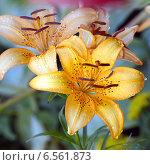 Купить «Садовые лилии», фото № 6561873, снято 16 июля 2014 г. (c) Владимир Борисов / Фотобанк Лори