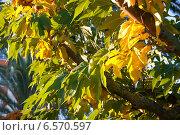 Купить «Осенняя пожелтевшая листва», фото № 6570597, снято 3 октября 2014 г. (c) Татьяна Кахилл / Фотобанк Лори