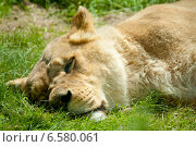 Купить «Спящий на траве львенок», фото № 6580061, снято 17 июня 2012 г. (c) Сурикова Ирина / Фотобанк Лори
