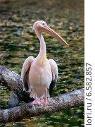 Купить «Розовый пеликан», фото № 6582857, снято 16 октября 2014 г. (c) Сергей Рыжков / Фотобанк Лори